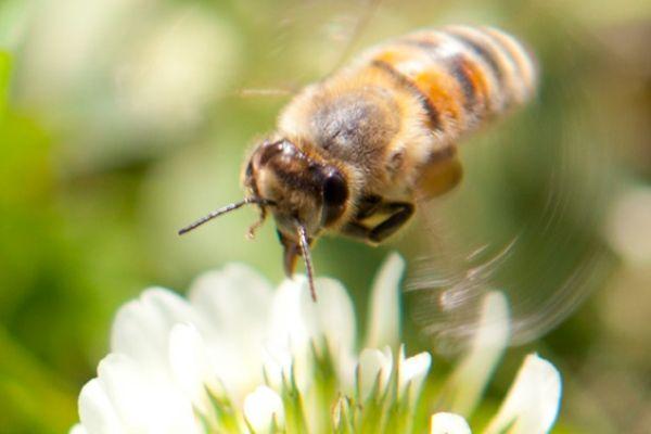 Bee in vineyard